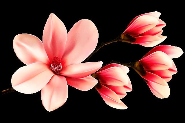 magnolia flower 3791387 640